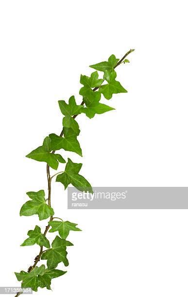 Lierre plantes, isolé sur blanc, un Tracé de détourage compris.