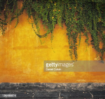 Ivy plant on wall : Photo