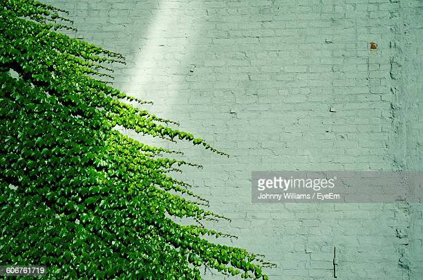 Ivy Plants Growing On Brick Wall