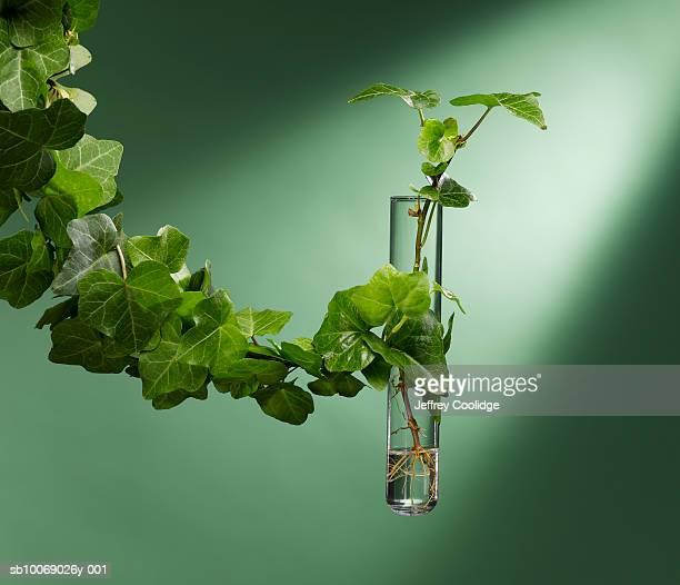 Ivy tangling test tube, studio shot