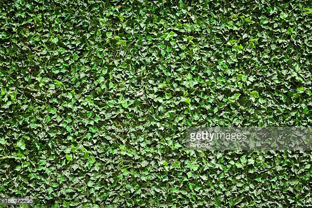 Ivy textura