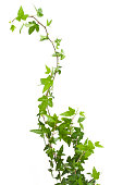 Digital illustration of green ivy plant isolated against a white background.  The ivy leaves are highly concentrated at the bottom of the image, then become more sparse as the stem climbs upward to th