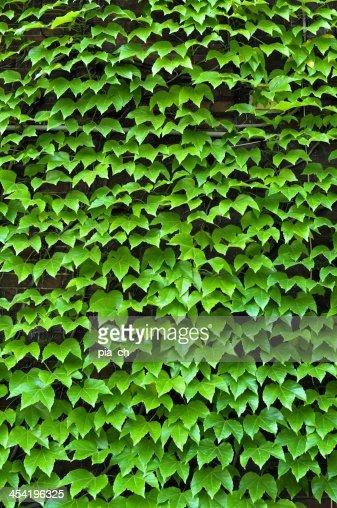 Ivy-parede Coberta : Foto de stock