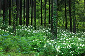 Iwate Prefecture Hydrangea blooming in the forest