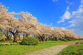 Iwate Prefecture Spring cherry blossom trees