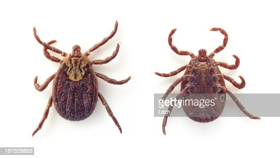Ixodid tick on back and stomach on white background