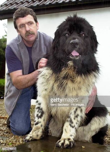 Izzie a Newfoundland dog with owner David Pugh near Bristol Izzie who works with the Royal Life Saving Society's Rookie Lifeguard Scheme beat off...