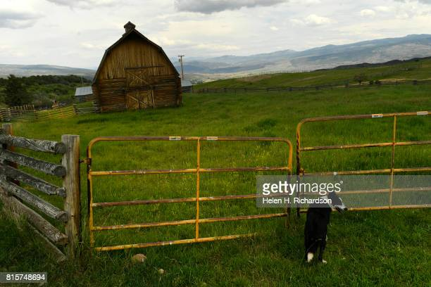 Izzy a Border Collie belonging to rancher Susan Nottingham stands in front of a fence by the large iconic barn at Nottingham Ranch on July 11 2017 in...