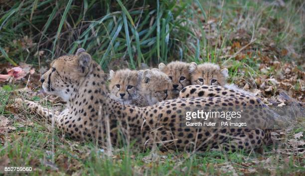 Izzy a Southern Cheetah lays with her as yet unnamed two male and two female cubs as they make their public debut at Port Lympne Wild Animal Park...
