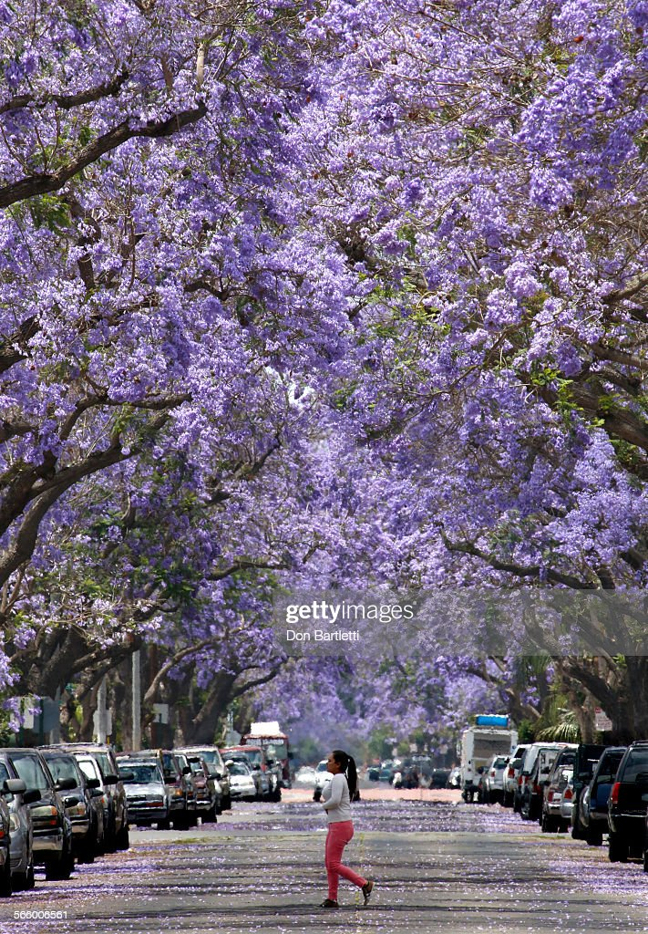Ana Ca 182 Jacaranda Trees Canopy 1 5 Miles Of Myrtle Street In An Old