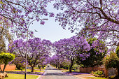 Jacaranda trees down the road in Johannesburg, in their purple bloom in the early summer.