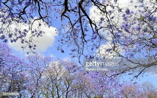 Jacaranda trees in bloom : Stock Photo