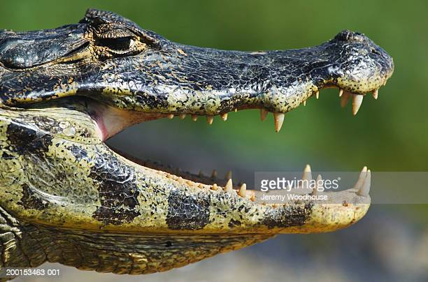 Jacare caiman (Caiman yacare) with mouth open, side view, close-up
