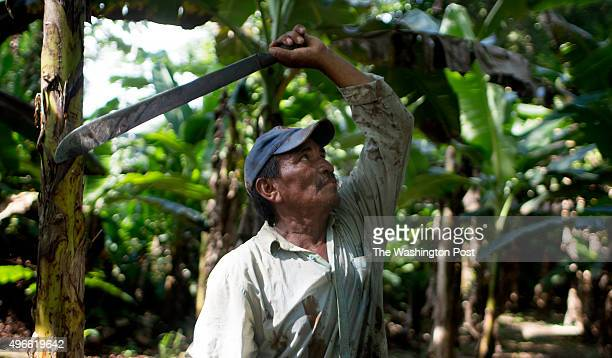 Jacinto Tapia tends to a banana tree growing on the farm where he recently stopped growing coca in Tierradentro Colombia on October 29 2015 With...