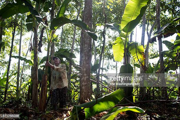 Jacinto Tapia tends to a banana tree growing on the farm where he recently stopped cultivating coca in Tierradentro Colombia on October 29 2015 With...
