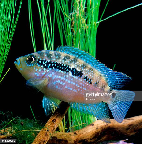 Jack Dempsey Cichlasoma octofasciatum freshwater aquarium cichlid grows to 25 cm originates from North and Central America Native to North and...