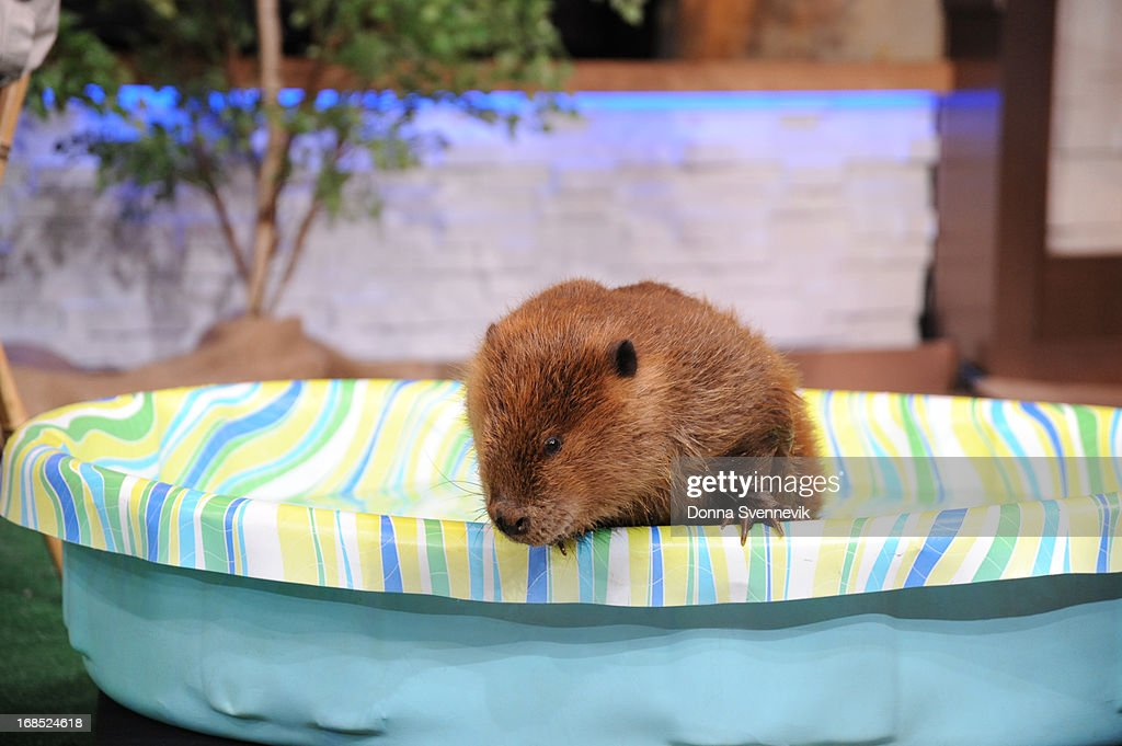 AMERICA - Jack Hanna brings his animal friends to 'Good Morning America,' 5/10/13, airing on the ABC Television Network. (Photo by Donna Svennevik/ABC via Getty Images) BEAVER