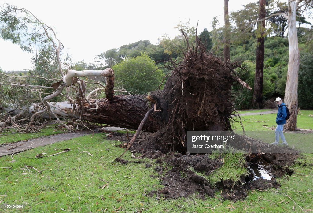 Jack Hurst inspects an uprooted tree in Seddon Fields, Point Chevalier on June 11, 2014 in Auckland, New Zealand. Cyclonic winds and heavy rainfall has caused damage across Auckland, Northland and Waikato. Storms resulted in wide ranging power outages and property damage.
