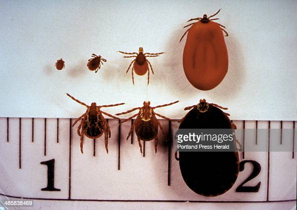Jack Milton/Staff Photographer May 1991 Common ticks found in Maine Top row Ixodes dammini the 'deer tick' which transmits lyme disease from left...