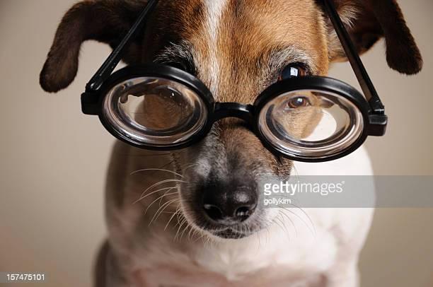 Jack Rusell Terrier mit Geek Brille