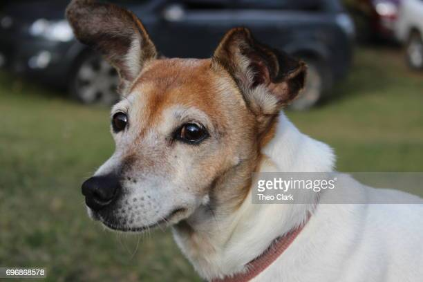 Jack Russel Dog
