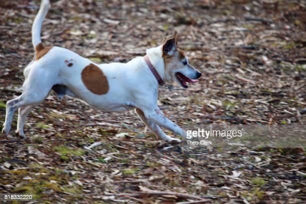 Jack Russel dog running