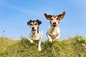 Jack Russell 8 and 10 years old - hair style: broken and smooth - two little cute hunting dogs running and jumping joyfully over an obstacle in a meadow against a blue sky