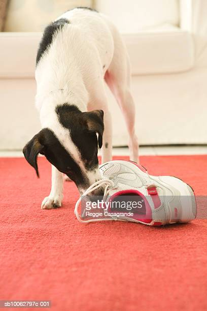 Jack Russell biting shoe