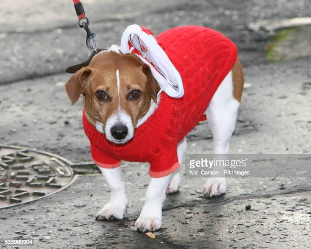 A Jack Russell dog dress as one of the 13000 Santas who gathered at the Guildhall in Derry City to break the world record for the amount of Father...