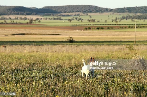 Jack Russell dog in field