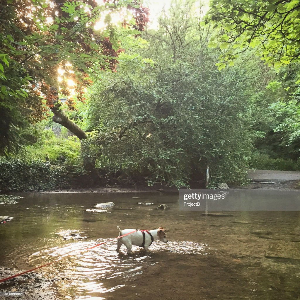 Jack Russell dog on lead walking in a stream.