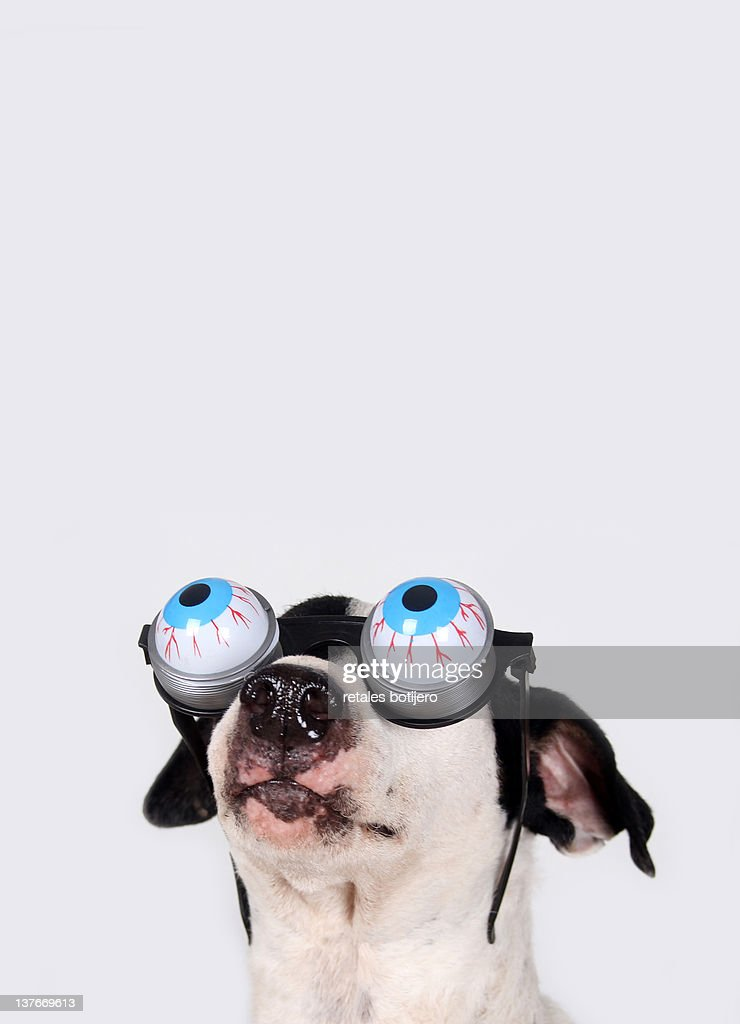 Jack russell dog : Stock Photo