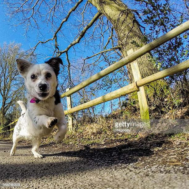 Jack Russell dog running in the countryside