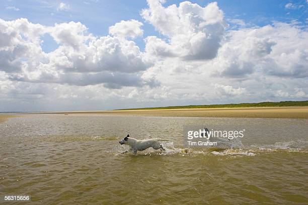 Jack Russell dogs playing in the sea at Utah Beach Normandy France