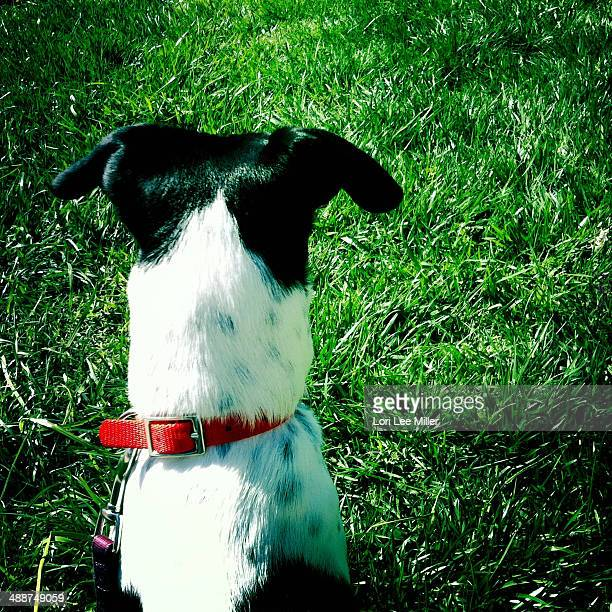 Jack Russell Fox Terrier In Yard