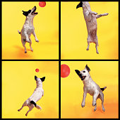 Jack Russell jumping for ball