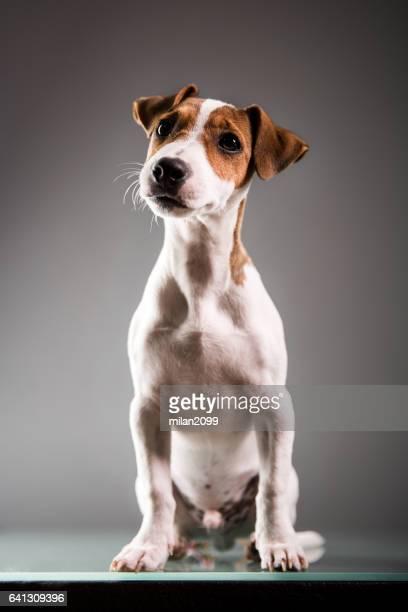 ジャックラッセル子犬
