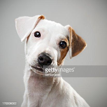Jack Russell puppy portrait