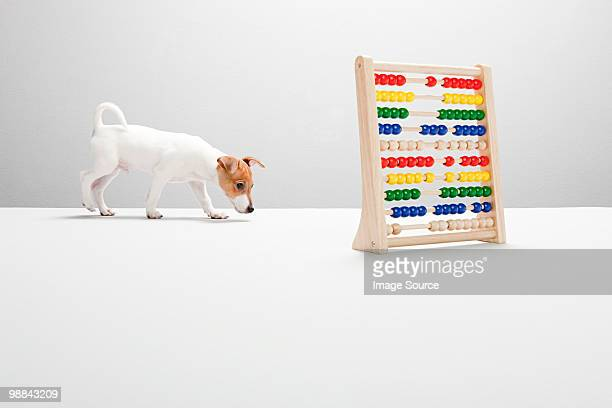 Jack russell puppy with abacus