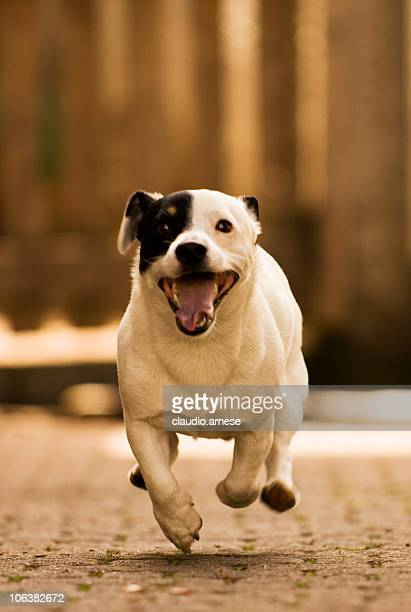 Jack Russell Running. Color Image
