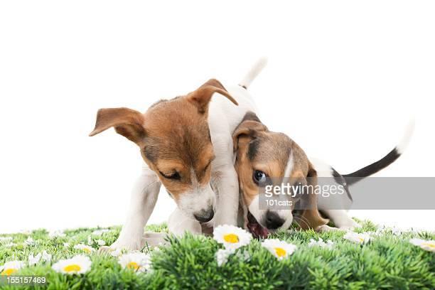 jack russell terrier e beagle