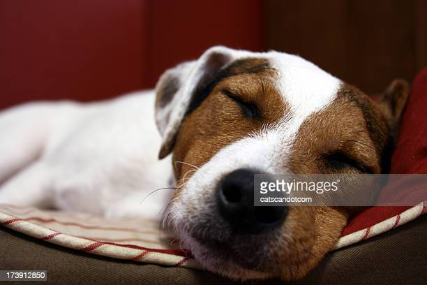 Jack Russell Terrier asleep