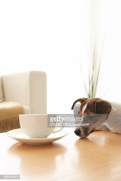 Jack Russell Terrier at Coffee Table