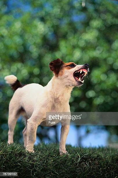 Jack Russell Terrier Bearing Its Teeth