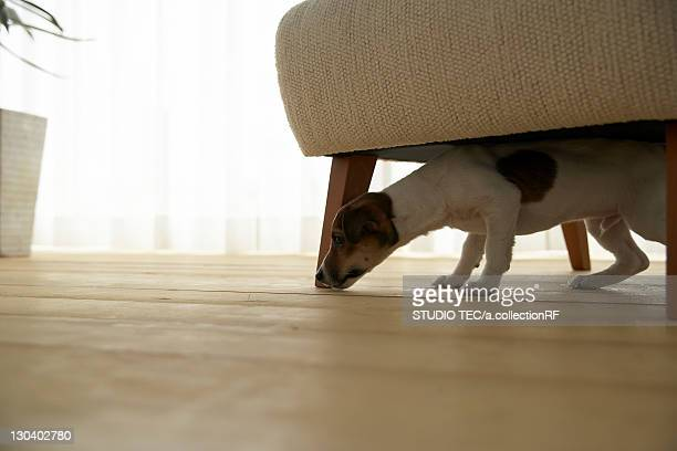 Jack Russell Terrier Below Armchair