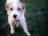 Jack Russell Terrier, close-up