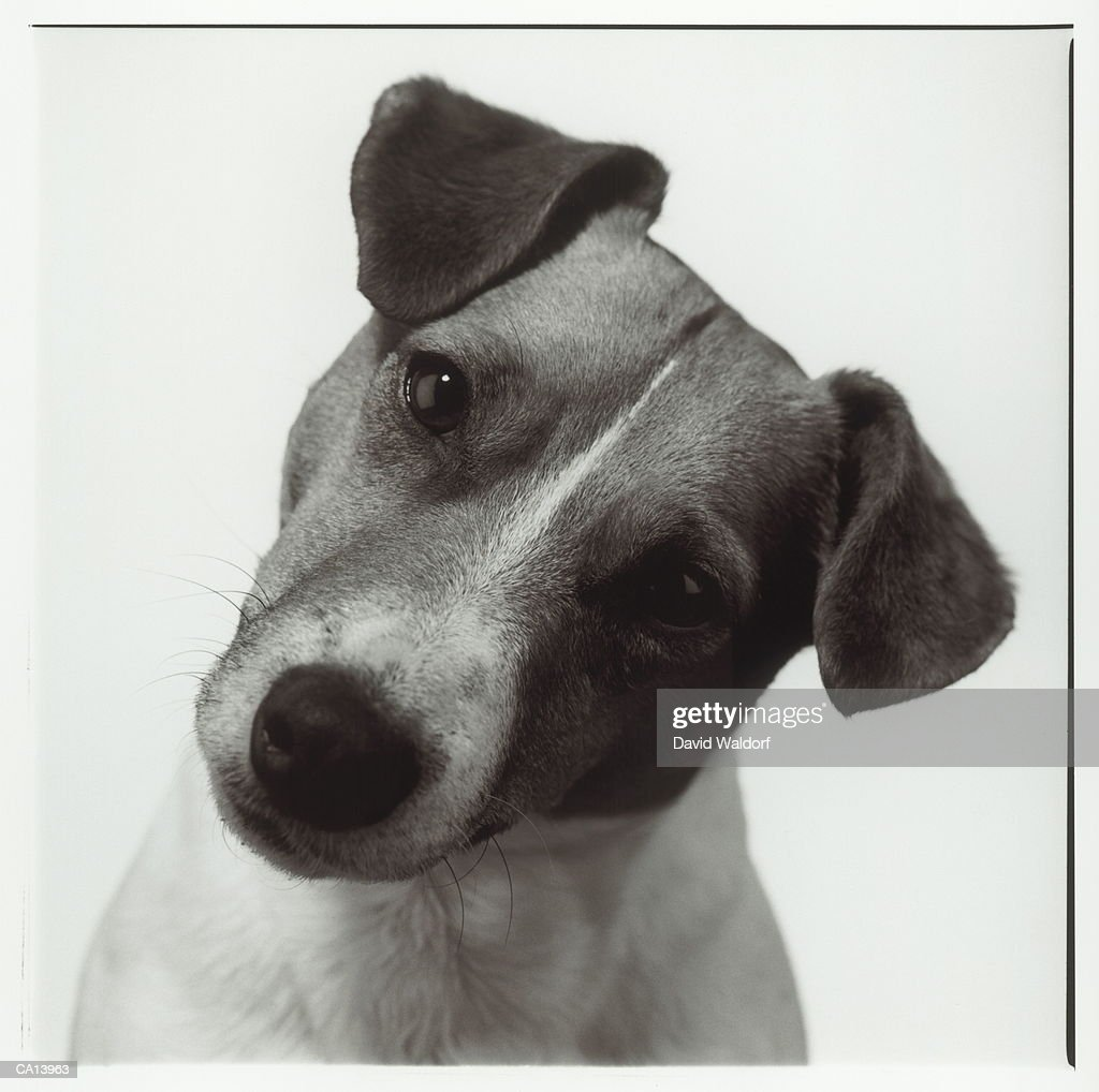 Jack Russell Terrier cocking head, close-up (B&W) : Stock Photo