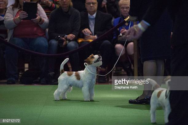 Jack Russell Terrier competes on the second day of the 140th annual Westminster Kennel Club dog show on February 16 2016 in New York City The dog...