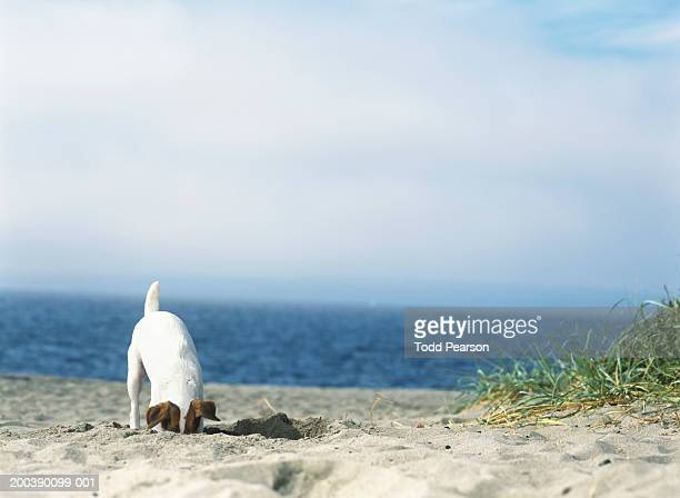 Jack Russell terrier digging hole in sand at beach