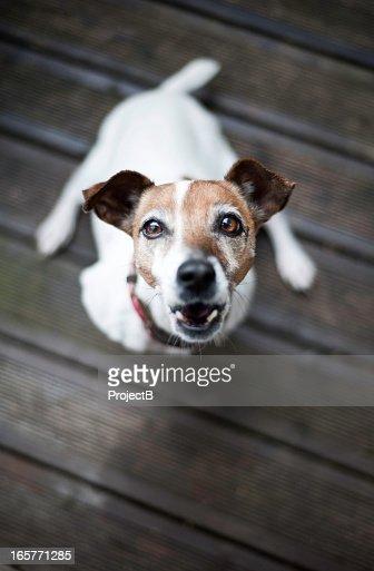 Jack Russell Terrier dog barking